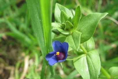Scarlet Pimpernel from La Rocca, blue variation
