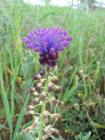Tassel Hyacinth