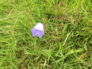 Harebell from Scotland