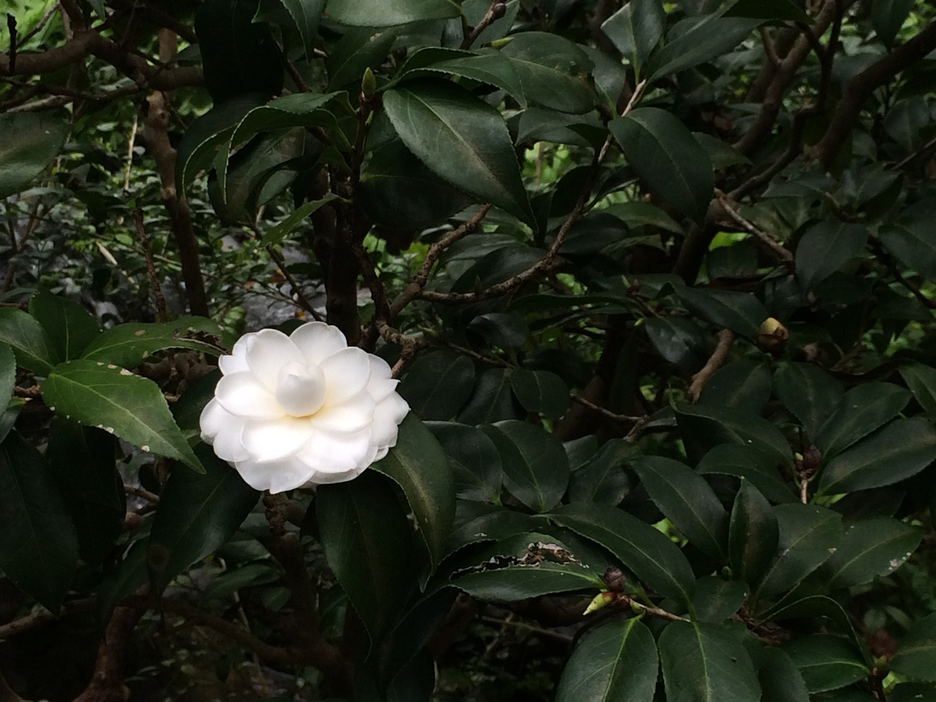 Snow Camellia in bed of green leaves