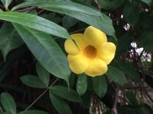 Allamanda from Taiwan