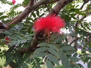 Calliandra from Taiwan
